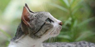 cara membuat bulu kucing kampung lebat
