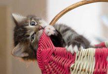 memilih kucing adopsi
