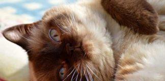 tips jitu menangani kucing kembung