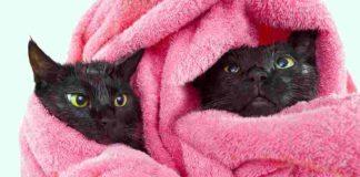memandikan kucing dengan handuk lembap