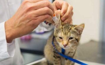 cara memberikan obat tetes telinga pada kucing