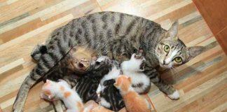 nutrisi untuk kucing menyusui