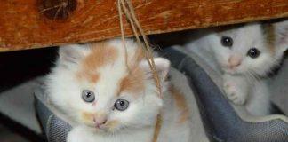 seberapa cepat anak kucing jadi dewasa
