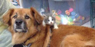 anjing pengasuh anak kucing