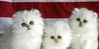 3 vaksin yang baik untuk kucing Catlovers