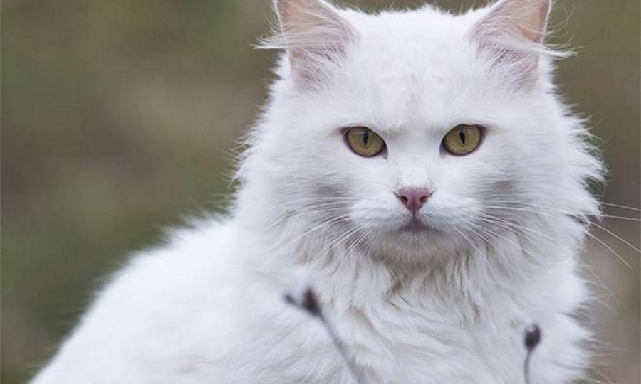 Jenis Kucing Paling Lucu Di Dunia Catlovers Id