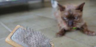 Kerontokan bulu kucing
