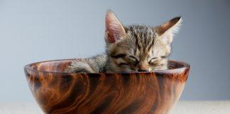 nutrisi penting yang dibutuhkan kucing