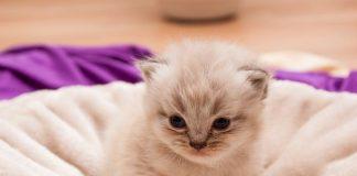 Membersihkan anak kucing