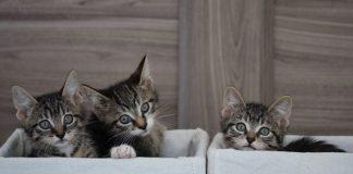 Diare pada kitten