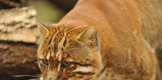kucing hutan
