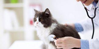 kesehatan kucing