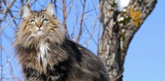 ras kucing kuno