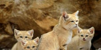 kucing gurun