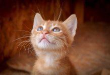 bagian tubuh kucing