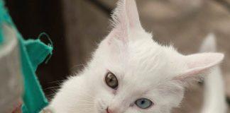 kucing odd eye