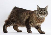 kucing ras manx