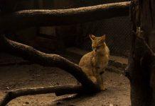 kucing di Australia