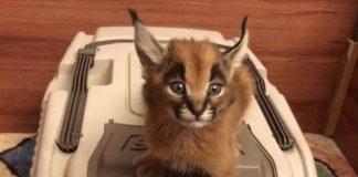 kucing paling indah di dunia